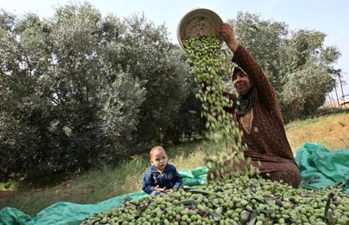 توقع إنتاج 230 ألف طن من الزيتون بجهة طنجة تطوان خلال الموسم الفلاحي القادم