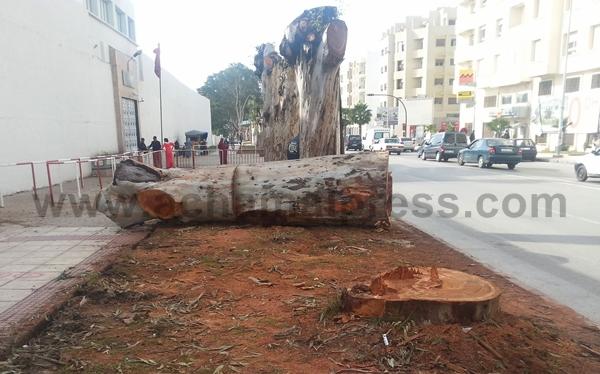 فعاليات المجتمع المدني تستنكر عملية الاعدام الجماعية لأشجار شوارع طنجة