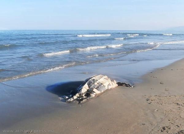 شاطئ أشقار بطنجة يلفظ سلحفاة عملاقة يقارب وزنها 70 كيلوغراما