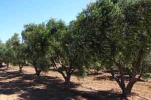 اقتلاع آلاف الأشجار الزيتون بسبب الحساسية التي تصيب السكان بوجدة