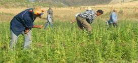 إيقاف عسكري إسباني متهم بجلب وتوزيع بذرة جديدة للقنب الهندي بالشمال