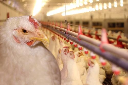 تقرير: المغربي يستهلك 17كلغ من لحوم الدواجن في السنة