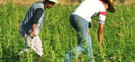 """زراعة """"الحشيش"""" بباب برد.. ثراء مزيف للمزارعين والمهربون يستفيدون"""