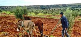 التساقطات المطرية الاخيرة تنقذ الموسم الفلاحي بالمغرب