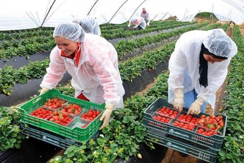 """حقول """"الفراولة"""" الاسبانية تستعد لاستقبال 11 الف عاملة مغربية"""