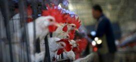 مهنيو قطاع الدواجن يوضحون حقيقة نفوق 20% من الدجاج بسبب موجة الحر