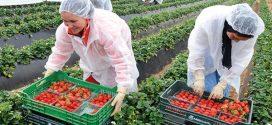 وصول 1700 عاملة مغربية لجني الفراولة باسبانيا