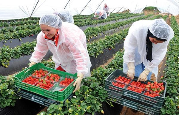 عاملات الفراولة المغربيات في إسبانيا يكشفن فضيحة استغلالهن جنسيا