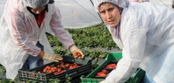 العاملات الموسميات في حقول الفراولة بإسبانيا يرفضن العودة إلى المغرب