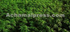 عشر فرص يتيحها تطوير نبتة القنب الهندي المشروع بشمال المغرب
