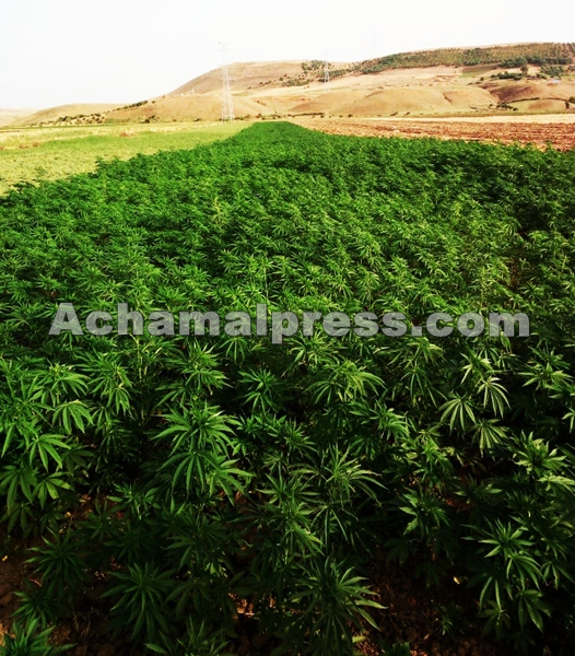 """تقرير يسجل تقلص مساحات زراعة """"الحشيش"""" شمال المغرب"""
