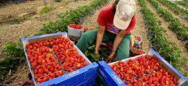 ارتفاع عدد العاملات المغربيات في حقول الفراولة بإسبانيا بحوالي 35 في المائة