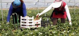 القضاء الإسباني يعيد فتح ملف الاعتداء على عاملات الفراولة المغربيات