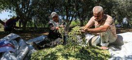 توقعات بأن يفوق إنتاج الزيتون 230 ألف طن بجهة طنجة