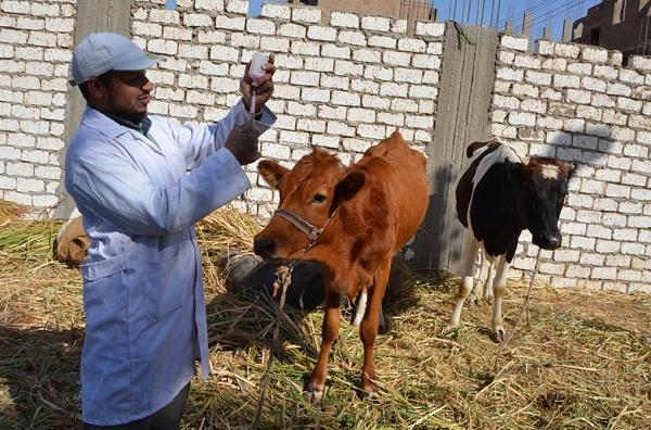 تلقيح أزيد من مليون رأس من الأبقار ضد مرض الحمى القلاعية
