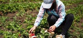 """إنتاج الفواكه الحمراء بـ""""جهة طنجة"""" يبلغ 44 ألف طن ويمثل 23% من الانتاج الوطني"""