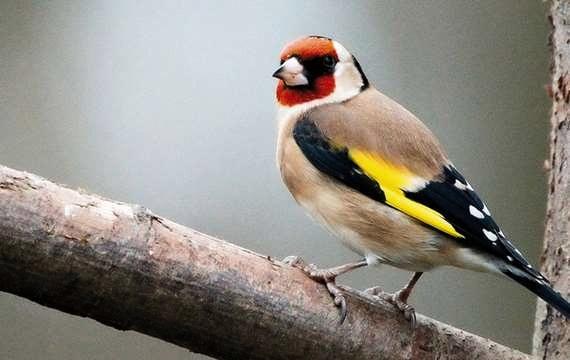 """الحسون الذهبي.. طائر بديع يسير الصيد الجائر نحو جعله """"أثرا بعد عين"""""""