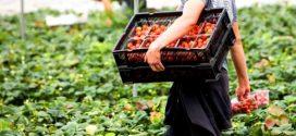 حقوقيون يطالبون بالتحقيق في خروقات شابت ملفات المغربيات العاملات بحقول الفراولة الإسبانية