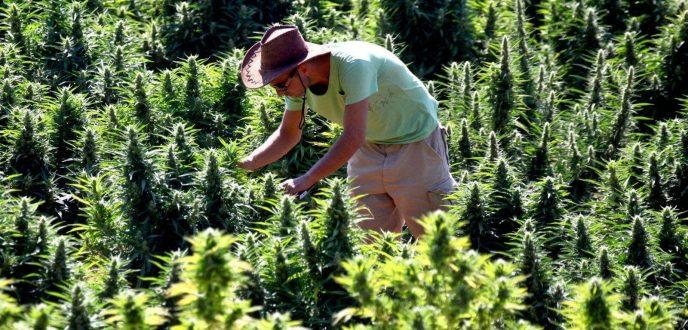 """للمرة الثانية.. تأجيل المصادقة على مشروع تقنين زراعة """"الكيف"""" في شمال المغرب"""
