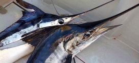 """مندوبية الصيد البحري بطنجة تمنع صيد سمك """"أبو سيف"""" خلال عيد الفطر"""