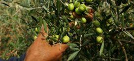 جهة طنجة.. زراعة 30 ألف هكتار بأشجار الزيتون ضمن استراتيجية الجيل الأخضر